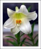 Lilium whitefox