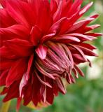 Red dahlia just opening