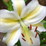 Lily - Bergamot