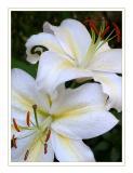 The last Bergamot lilies