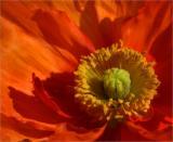 poppy close