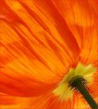 Poppy stem
