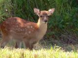 Sitka Deer Fawn