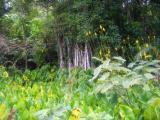 Mangroves and taro