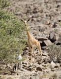 Gerenuk - Giraffe Gazelle