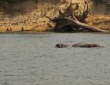 Dozing Hippos