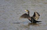 cormorano-D-6678.jpg