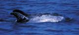 Delfini, alto Tirreno