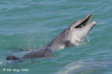 Bottlenose Dolphins with Needle Fish 4