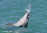 Bottlenose Dolphins with Needle Fish 2