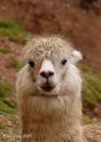 Lamas, Peru Andes  1