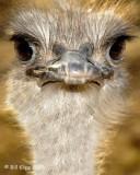 Ostrich,  Phoenix  Zoo