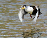Duck Take Off   2