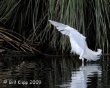 Snowy Egret  Landing  1