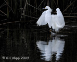 Snowy Egret  Landing  2