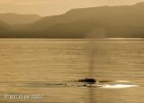 Fin Whale,  5