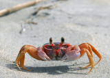 Ghost Crab, Sand Dollar Beach, 1