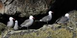Heermanns Gulls