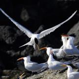 Royal Terns, Isla Rasa 1