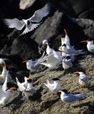 Royal Terns, Isla Rasa 2