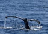 Humpback Whale Fluke 2