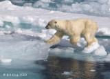 Polar Bear, Svalbard 2