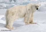 Polar Bear, Svalbard 4