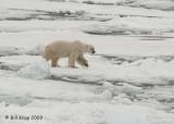 Polar Bear, Svalbard 8