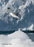 Black Legged Kittiwake, Svalbard 1
