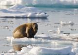 Walrus, Moffen Island Svalbard 5