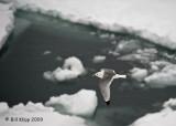 Black Legged Kittiwake, Svalbard 2