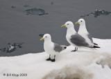 Black Legged Kittiwake, Svalbard 3