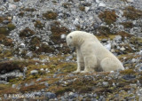 Polar Bear, Svalbard 10