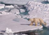 Polar Bear, Svalbard 11