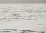 Polar Bear, Svalbard 12