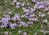 Purple Saxifrage, Svalbard