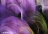 Purple Saxifrage Motion Blur,