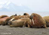 Walrus, Prins Karls Forland Island Svalbard 1