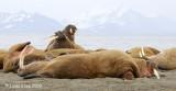 Walrus, Prins Karls Forland Island Svalbard 2