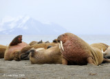 Walrus, Prins Karls Forland Island Svalbard 4