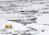 Polar Bear,  Svalbard Norway 6