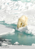 Polar Bear,  Svalbard Norway 8