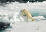 Polar Bear,  Svalbard Norway 9