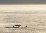 Humpback Whale,  Svalbard Norway 2