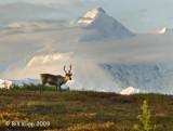 Caribou, Denali National Park 1