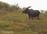 Moose, Denali National Park 1