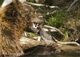 Brown Bear, Hallo Bay Alaska 5