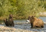 Brown Bears, Hallo Bay Alaska 6