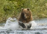 Brown Bear, Hallo Bay Alaska 9