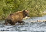 Brown Bear, Hallo Bay Alaska 10